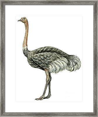 Common Ostrich Framed Print