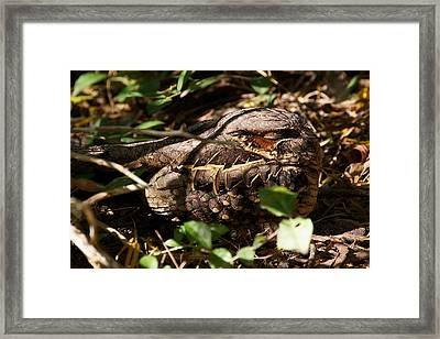 Common Pauraque Framed Print by Stuart Litoff