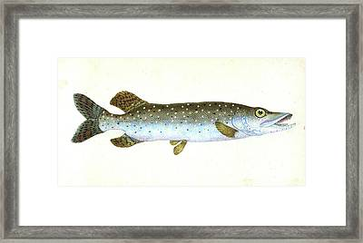Common Pike, Esox Lucius, British Fishes Framed Print