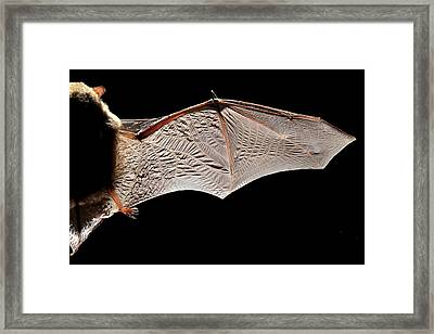 Common Pipistrelle Bat Wing Framed Print by Alex Hyde