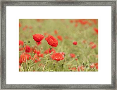 Common Poppies Framed Print by Anne Gilbert