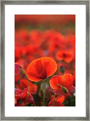 Common Poppy  Papaver Rhoeas  Covering Framed Print by Wayne Hutchinson