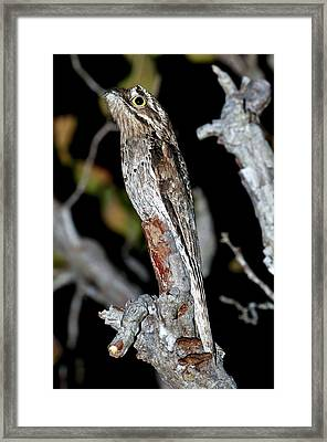 Common Potoo In A Tree At Night Framed Print by Science Photo Library