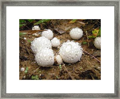 Common Puffball Dewdrop Harvest Framed Print