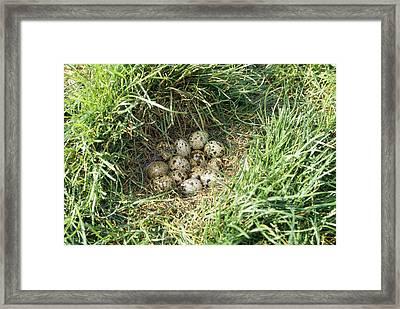 Common Quail Nest Framed Print by M. Watson