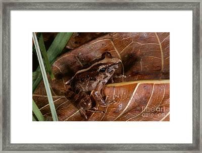 Common Rain Frog Framed Print