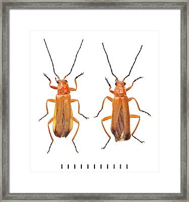 Common Red Soldier Beetle Framed Print