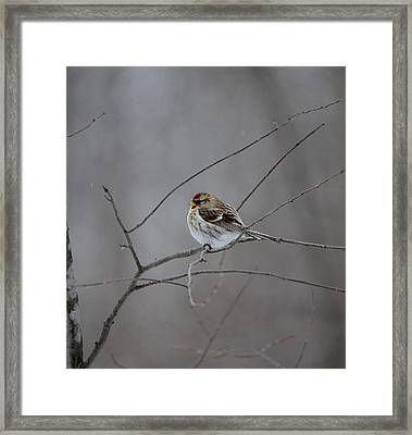 Framed Print featuring the photograph Common Redpoll by David Porteus