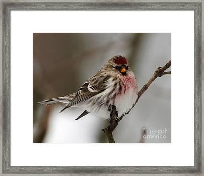 Common Redpoll Framed Print by Deborah Smith