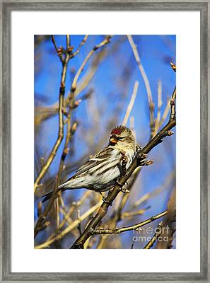 Common Redpoll Female Framed Print by Alyce Taylor