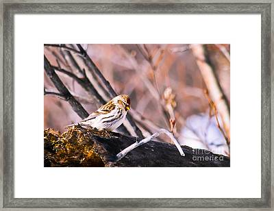 Common Redpoll Female Framed Print by Chris Heitstuman