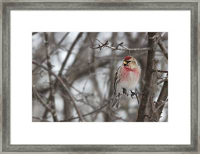 Framed Print featuring the photograph Common Redpoll - Sizerin Flamme - Acanthis Flammea by Nature and Wildlife Photography