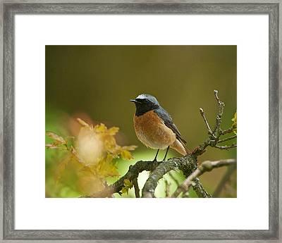 Common Redstart Framed Print by Paul Scoullar