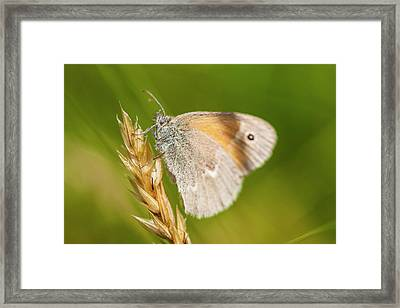Common Ringlet Butterfly, Coenonympha Framed Print