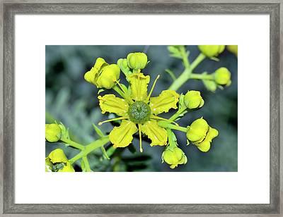 Common Rue (ruta Graveolens) Flowers Framed Print
