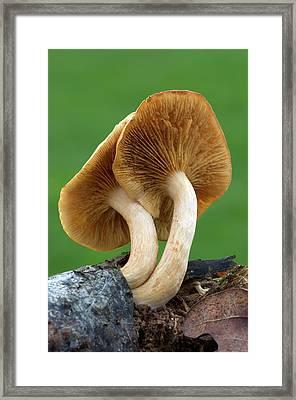 Common Rustgill Fungus Framed Print
