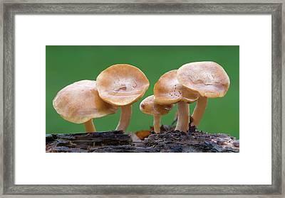 Common Rustgill (gymnopilus Penetrans) Framed Print by Nigel Downer