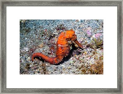 Common Seahorse Framed Print by Georgette Douwma