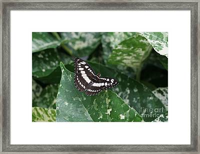 Common Sergeant Butterfly Framed Print