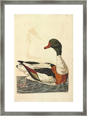 Common Shelduck Framed Print by Natural History Museum, London