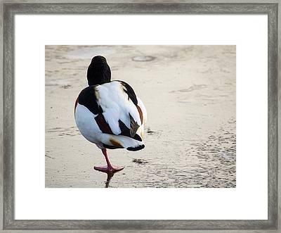 Common Shelduck (tadorna Tadorna) Framed Print by Ashley Cooper