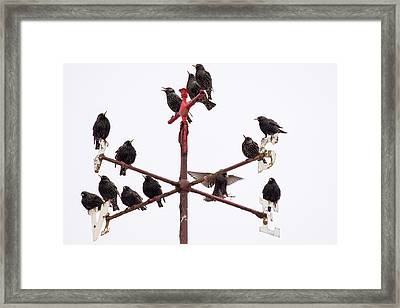 Common Starlings Framed Print by Ashley Cooper
