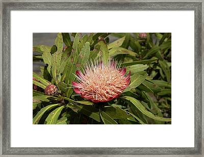 Common Sugar Bush (protea Caffra) Framed Print