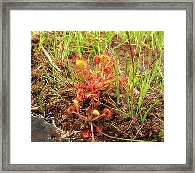 Common Sundew Framed Print