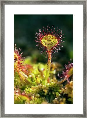 Common Sundew (drosera Rotundifolia) Framed Print by Alex Hyde