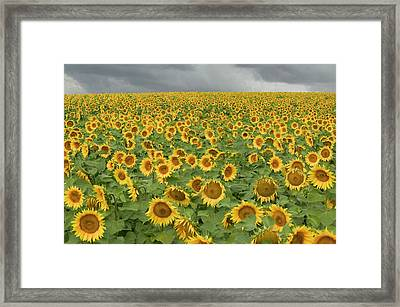 Common Sunflower Helianthus Annuus Framed Print by Cyril Ruoso
