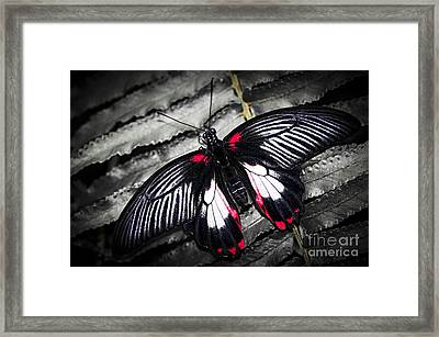 Common Swallowtail Butterfly Framed Print by Elena Elisseeva