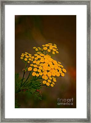 Common Tansy Framed Print