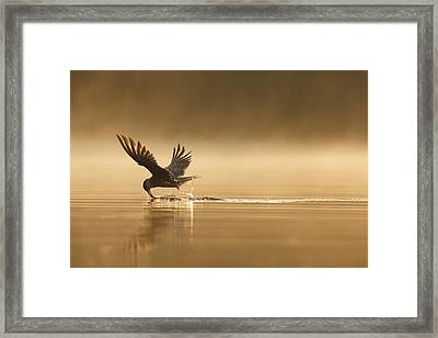Common Tern Fishing Zuid-holland Framed Print