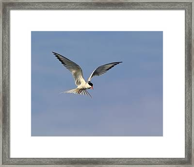 Common Tern Hovering Framed Print by Tony Beck