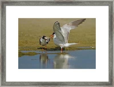 Common Tern (sterna Hirundo) Framed Print