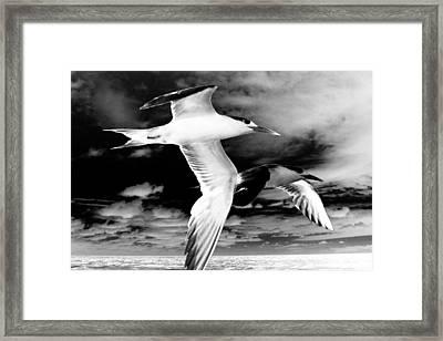 Common Terns Mono Framed Print