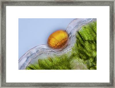Common Thyme Leaf Section Framed Print by Gerd Guenther