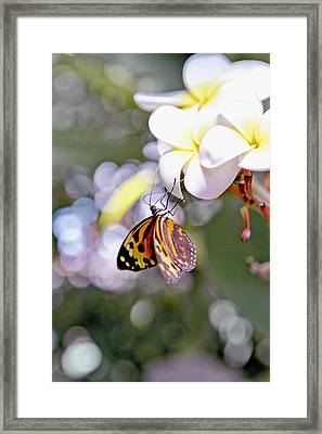 Common Tiger Glassywing Butterfly On Plumeria Bloom Framed Print