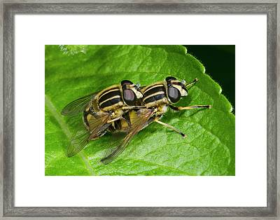 Common Tiger Hoverflies Mating Framed Print by Nigel Downer