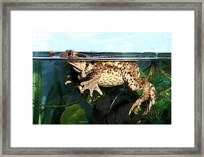 Common Toad Framed Print by Brian Gadsby/science Photo Library