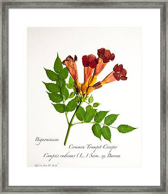 Common Trumpet-creeper 1 Framed Print