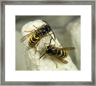 Common Wasps Framed Print
