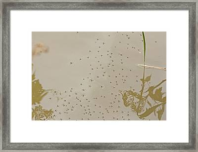 Common Water Strider - Gerris Remigis  Framed Print by Mother Nature