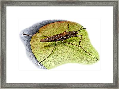 Common Water Strider Framed Print by Roger Hall