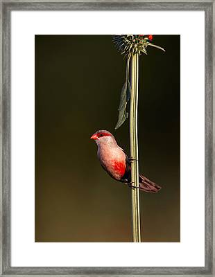 Common Waxbill Framed Print by Johan Swanepoel