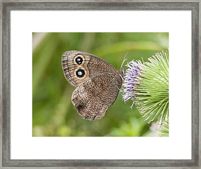 Common Wood-nymph On Thistle Framed Print