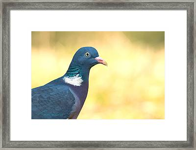 Common Wood Pigeon Framed Print by Torbjorn Swenelius