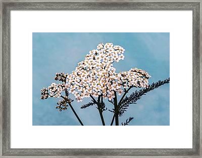 Common Yarrow (achillea Millefolium) Framed Print by Brian Gadsby