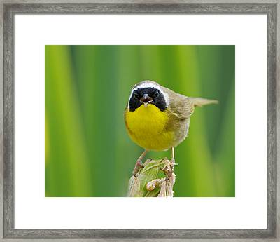 Common Yellowthroat Male Framed Print