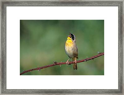 Common Yellowthroat Singing Framed Print